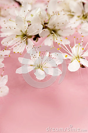 Cherry blossom on water, pink background