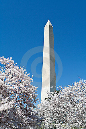 Cherry Blossoms Around Washington DC Monument