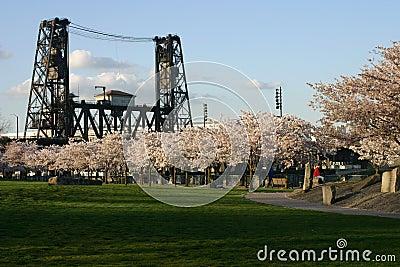 Cherry blossoms and bridge.