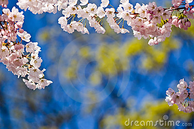 Cherry Blossoms with Copy Space