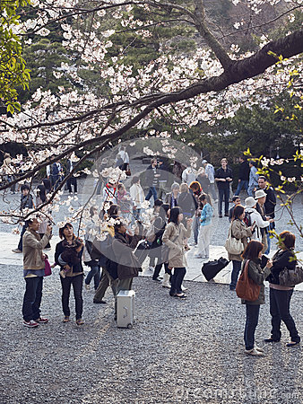 Cherry blossoms in Japan Editorial Image