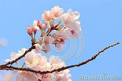Cherry Blossoms at Kiyomizu-dera, Kyoto, Japan