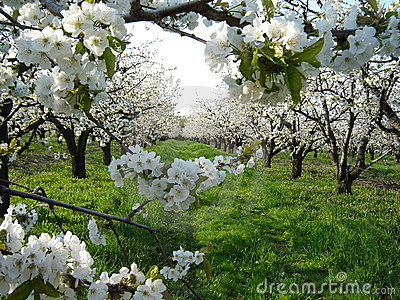 Cherry blossoms in orchard