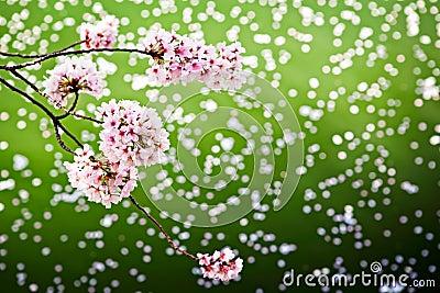 Cherry blossoms over fallen petals