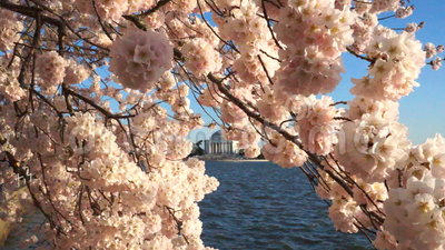 Cherry Blossoms på en Windy Spring Day