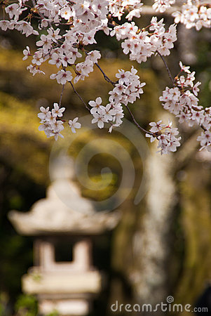 Cherry blossoms and stone lantern
