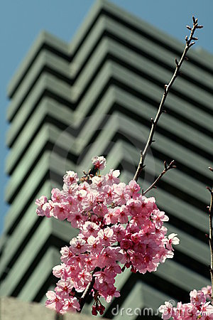 Cherry blossoms tall building