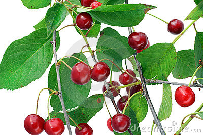 Cherry on branches