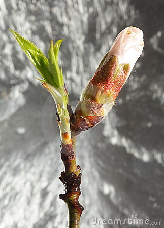 Cherry Flower Bud