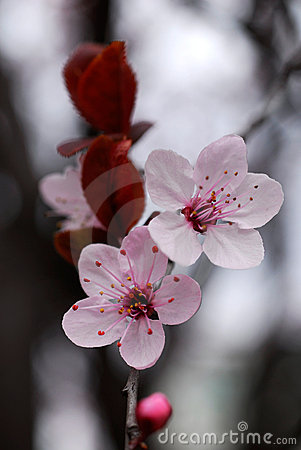 Free Cherry Flowers Stock Photography - 2085622