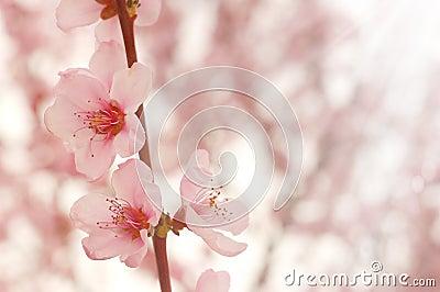 Cherry flowers closeup