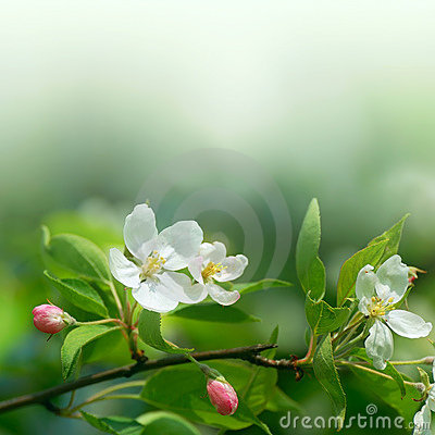 Free Cherry Flowers In Soft Focus Royalty Free Stock Photos - 14851938
