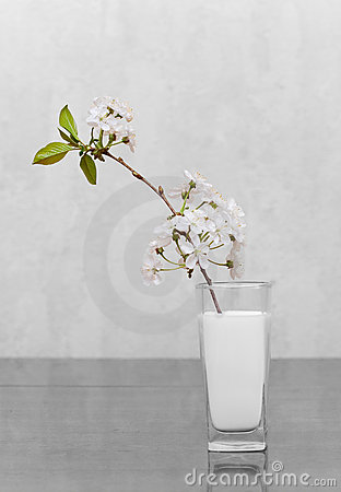 Cherry flowers standing in milk