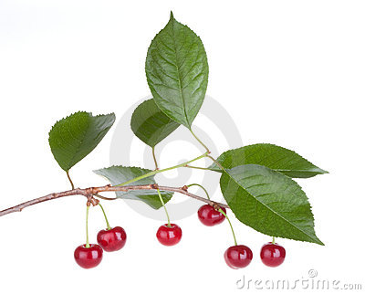 Cherry fruits tree