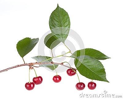Cherry fruits tree