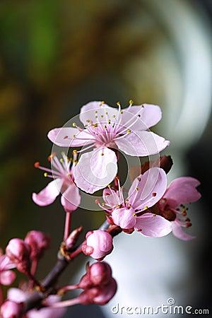 Cherry kwiat