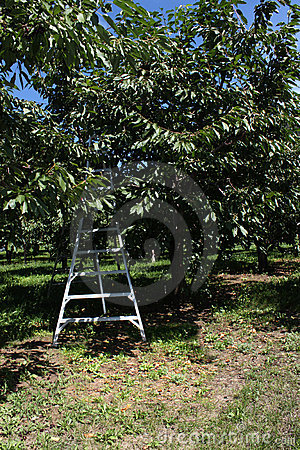 Cherry orchard ladder