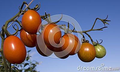 Cherry Plum Tomato
