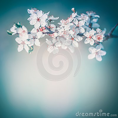 Free Cherry Spring Blossom Background, White Flowers Bloom At Turquoise Blur Nature Royalty Free Stock Photography - 109126017