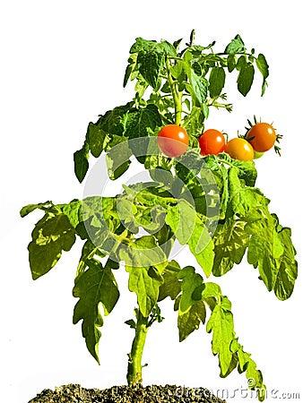 Free Cherry Tomato Plant Stock Photo - 32386730