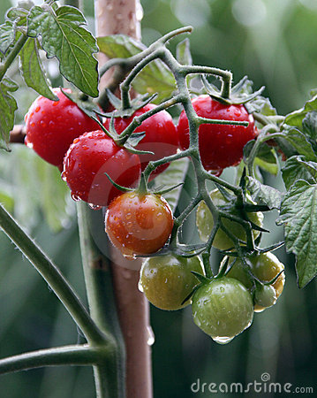 Cherry tomato plant and fruit