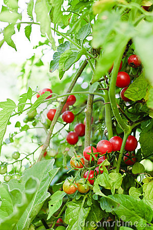 Cherry tomatoes in garden