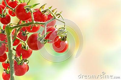 Cherry tomatoes growing in garden