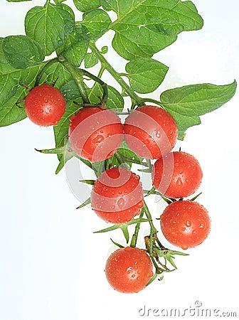 Free Cherry Tomatoes On Vine Stock Photo - 26027140
