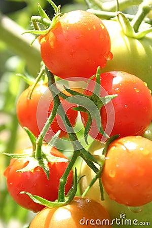 Free Cherry Tomatos Royalty Free Stock Images - 88969
