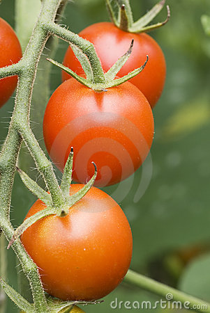 Cherry Tomatos on Vine 3