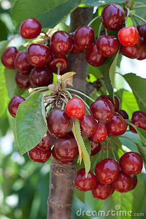 Free Cherry Tree Royalty Free Stock Photos - 10750198