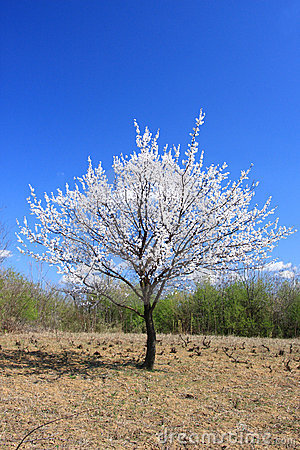 Young Cherry Tree in Blossom