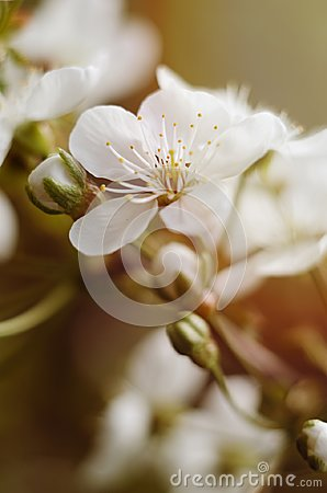 Free Cherry Tree Blossoms. White Spring Flowers Close-up. Soft Focus Spring Seasonal Background. Royalty Free Stock Images - 115715609