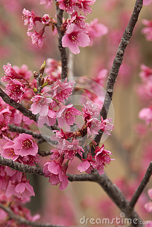 Free Cherry Tree Branches And Blooms Royalty Free Stock Photos - 43221598