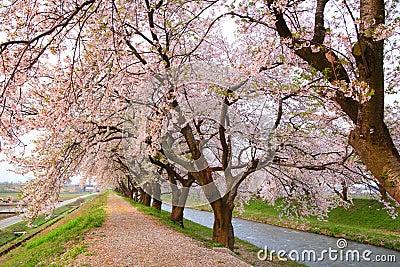 Cherry tree and causeway