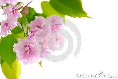 Cherry tree flowers closeup on white