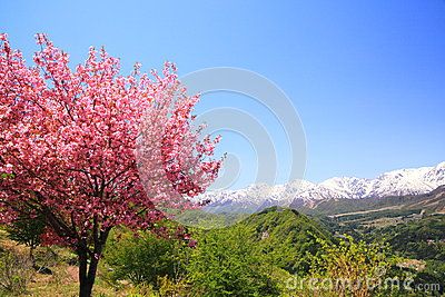 Cherry tree and Japan Alps
