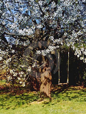 Cherry tree whith a swing.