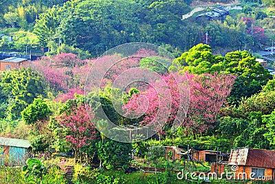 Cherry trees on the mountain