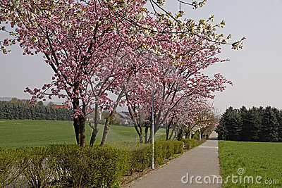 Cherry trees in spring, Lower Saxony, Germany