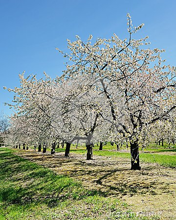 Cherry Trees Traverse City, Michigan