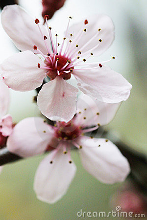 Cherryblomma