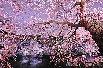 Cherryblossom light up