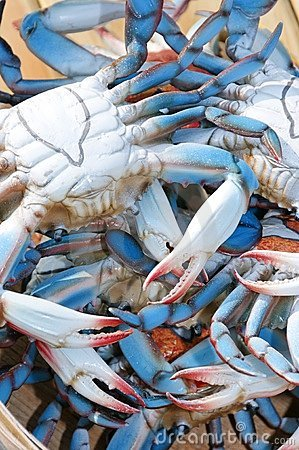 Chesapeake Blue Crabs