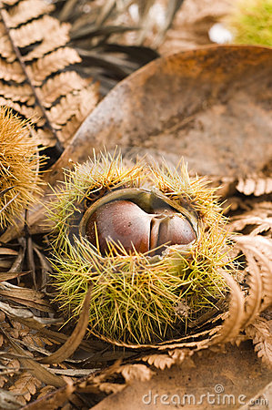 Free Chestnut And Leaves Stock Photography - 9860822