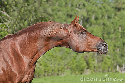Chestnut arab horse