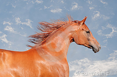 Chestnut arab horse portrait