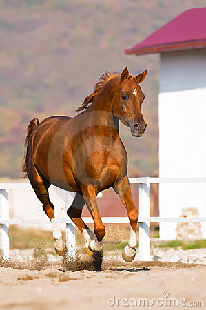 Chestnut arabian horse runs gallop