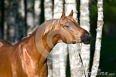 Chestnut arabian horse stallion portrait