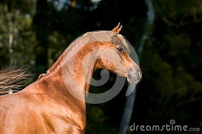 Chestnut arabian horse stallion portrait